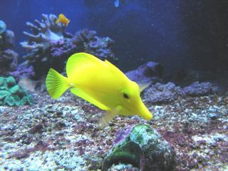 обои Желтая рыба фото