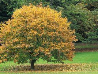 обои Одинокое дерево осенью фото