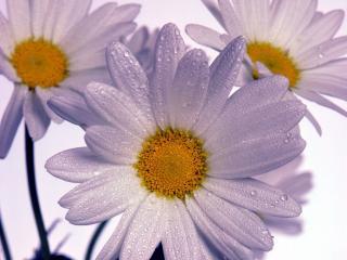 обои Сизые цветочки фото
