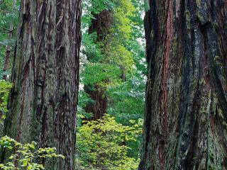 обои Большие деревья фото