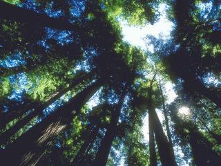 обои Верхушки деревьев фото