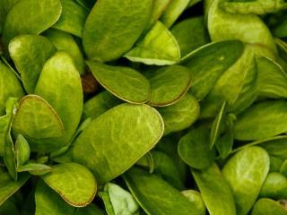 обои Много зелёных листье фото
