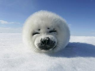 обои Baby Seal (Canadian seal) фото