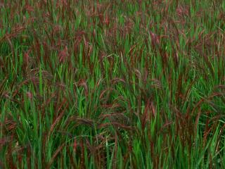 обои Японская трава фото
