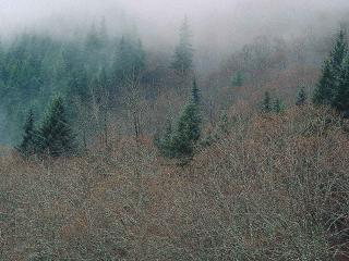 обои Деревья в тумане фото