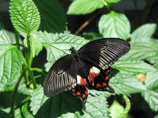 обои Черная бабочка фото