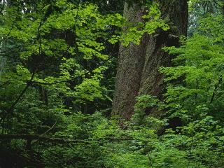 обои Зеленая листва фото