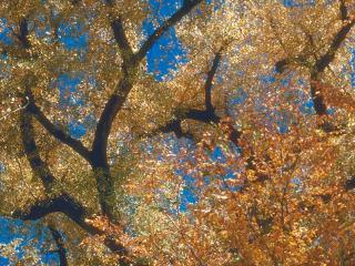 обои Золотое осеннее дерево фото