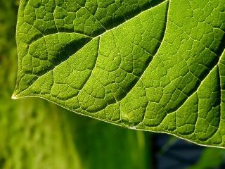 обои Зелёный лист, макро фото