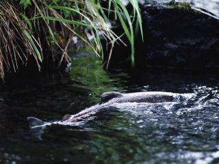 обои Плывущая рыба в реке, под свисающей травой фото