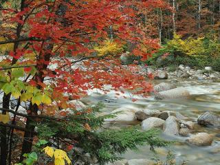 обои Осенний ручей в лесу, у красного клена фото
