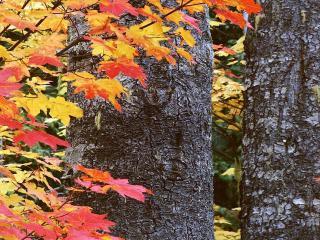 обои Осенний кленовый лес фото