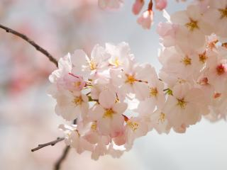 обои Весенние веточки вишни фото