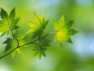 обои Зеленые листья клена фото