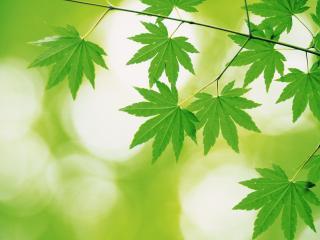 обои Листья клена фото