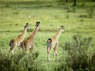 обои Три жирафа фото