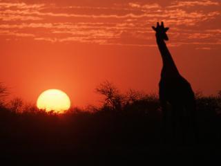 обои Жираф и закат фото