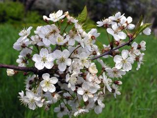 обои Ветвь яблони на лужайке фото