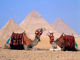 обои Наряженные верблюды фото