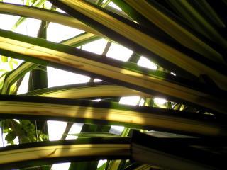 обои Пальмовые листья фото