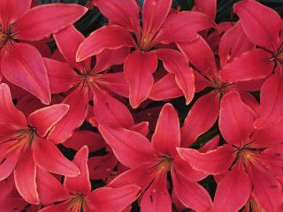 обои Красные цветы фото