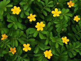 обои Зеленый куст с желтыми цветами фото