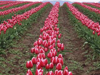 обои для рабочего стола: Поле тюльпанов