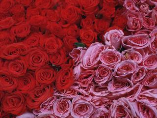 обои Прекрасные розы фото