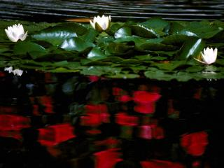 обои для рабочего стола: Водяная лилия