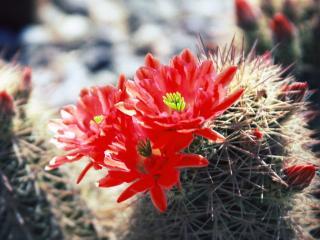 обои Цветущий кактус фото