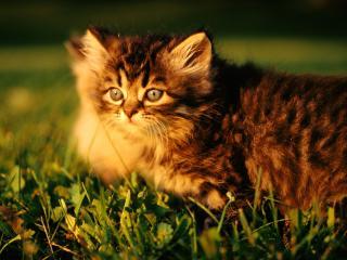 обои Котенок лежит на траве фото