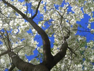 обои Дерево цветет весной фото