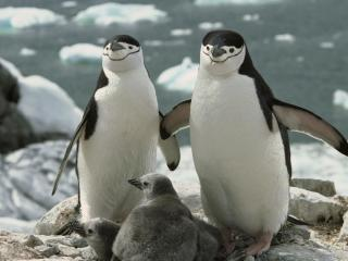 обои Chinstrap Penguin Parents and Chicks фото