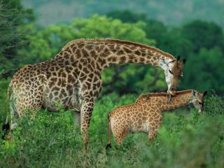 обои Жираф ухаживает за детенышем фото