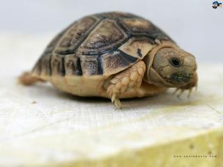 обои Египетская черепаха фото