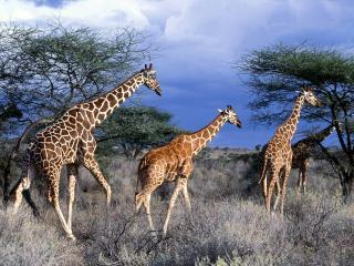 обои Reticulated Giraffes,   Kenya,   Africa фото