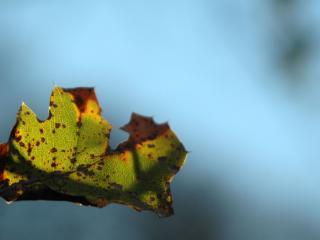 обои Осенний лепесток фото