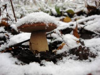 обои Белый гриб под снегом фото