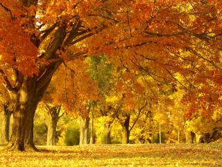 обои Golden Autumn Tree фото
