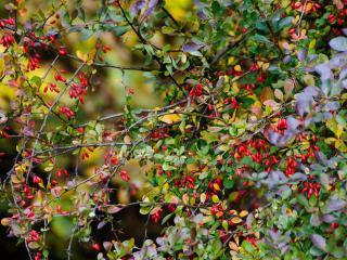 обои Барбарисовая осень фото
