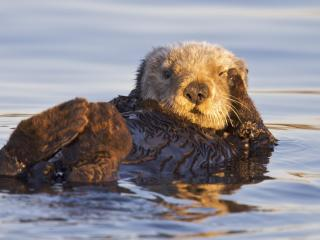 обои California Sea Otter,   Monterey Bay Marine Sanctuary,   California фото