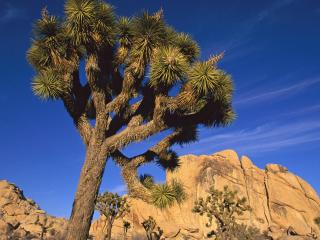 обои Joshua Tree,   Joshua Tree National Park,   California фото