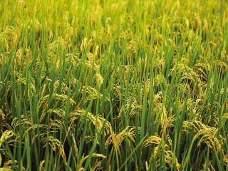 обои Трава крупным планом фото