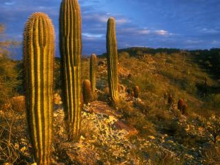 обои для рабочего стола: Кактусы Цереус, Парк Саут-Маунтин, Феникс, штат Аризона