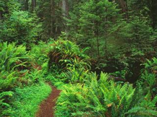 обои Trail Through Sword Ferns and Redwoods,   Redwood National Park,   California фото