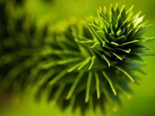 обои Колючее растение фото