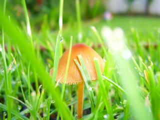 обои Mushroom in grass фото