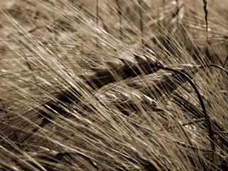 обои Урожай пшеницы фото