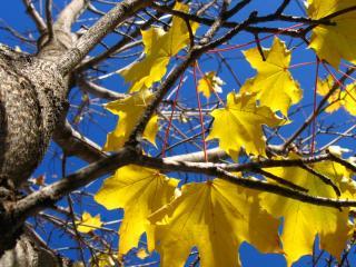 обои Yellow Autumn Leaves фото