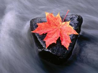 обои Осенний кленовый лист на камне, поток ручья фото